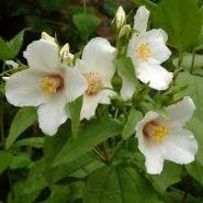 Iasomie cu flori mari (Philadelphus Belle Etoile)