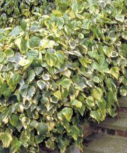 Iedera bicolora (Hedera colchica Dentata Variegata)