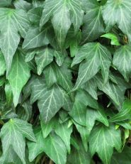 Iedera (Hedera helix Green Ripple)