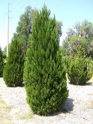 Ienupar spartan (Juniperus chin. Spartan)