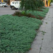 Ienupar tarator albastru (Juniperus sq. Blue Chip)