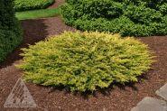Ienupar tarator galben (Juniperus horiz. Limeglow) 10-20 cm