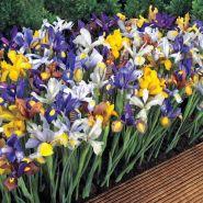 Irisi mixt (Iris reticulata mixed)