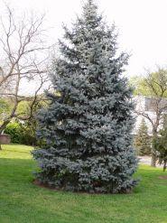 Kit Brad Craciun - Molid argintiu (Picea pungens Glauca) 30-40