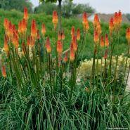Knifolia (Kniphofia uvaria Flamenco)