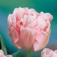 Lalele Angelique (Tulips Angelique)