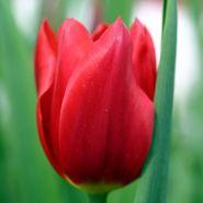 Lalele Apeldoorn (Tulips Apeldoorn)