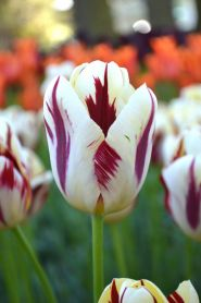 Lalele Grand perfection (Tulips Grand perfection)
