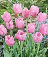 Lalele Pink diamond (Tulips Pink diamond)
