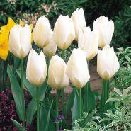 Lalele Purissima (Tulips Purissima)