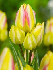 Lalele Antoinette (Tulips Antoinette)