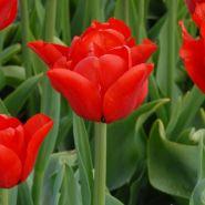 Lalele Ben van zanten (Tulips Ben van zanten)