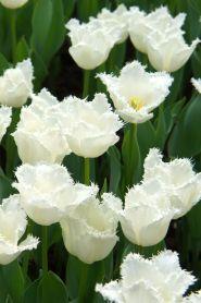 Lalele Daytona(Tulips Daytona)