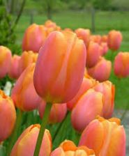 Lalele Dordogne (Tulips Dordogne)