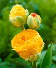 Lalele Double beauty of Apeldoorn(Tulips Double beauty of Apeldoorn)