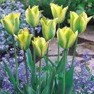 Lalele Formosa (Tulips Formosa)
