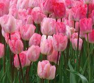 Lalele Ganders rhapsody (Tulips Ganders rhapsody)