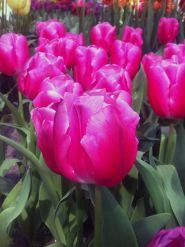 Lalele In love (Tulips In love)