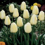 Lalele Ivory floradale (Tulips Ivory floradale)