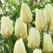 Lalele Lemonade (Tulips Lemonade)