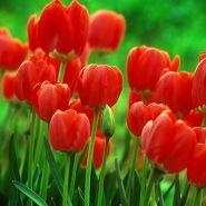 Lalele Oxford(Tulips Oxford)