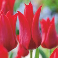 Lalele Pieter de leur (Tulips Pieter de leur)
