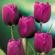 Lalele Purple prince (Tulips Purple prince)
