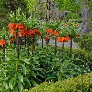 Lalele Regale - Frittilaria Rubra Maxima