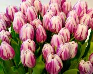 Lalele Striped flag (Tulips Striped flag)