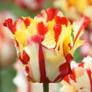 Lalele Texas flame (Tulips Texas flame)