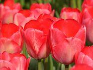 Lalele Van eijk (Tulips Van eijk)