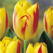 Lalele Washington(Tulips Washington)