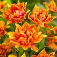 Lalele Willem van oranje (Tulips Willem van oranje)