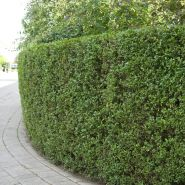 Lemn cainesc (Ligustrum vulgare) 30-50 cm