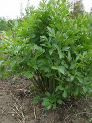 Leustean (Levisticum oficinalle)