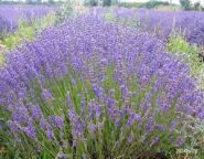 Levantica (Lavandula ang. Ardeche Blue)