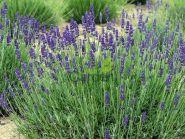 Levantica violet (Lavanda Valence Dark)