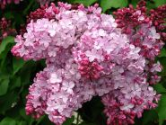 Liliac roz  (Syringa vulgaris Esther Staley)