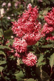 Liliac roz (Syringa prestoniae Miss Canada)