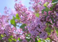 Liliac roz (Syringa vulg. California  rose)