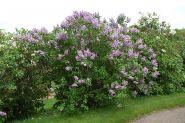 Liliac (Syringa vulgaris)
