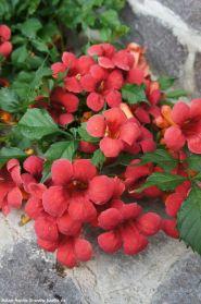 Luleaua/pipa turcului rosie  (Campsis Flamenco)