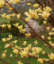 Magnolia galbena ( Magnolia buterflies)