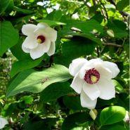 Magnolia (Magnolia sieboldii)
