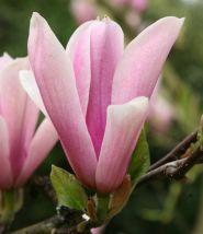 Magnolia mirositoare (Magnolia Heaven Scent)