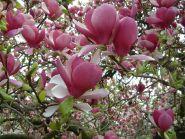 Magnolia rustica rubra (Magnolia sou. Rustica Rubra)