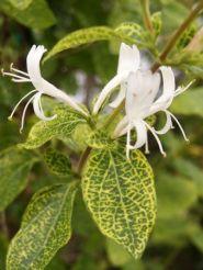Mana Maicii Domnului (Lonicera jap. Aureoreticulata )