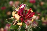Mana Maicii Domnului rosie (Lonicera japonica American Beauty)