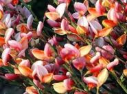 Maturica (Cytisus Zeelandia)