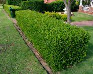 Merisor (Buxus sempervirens)